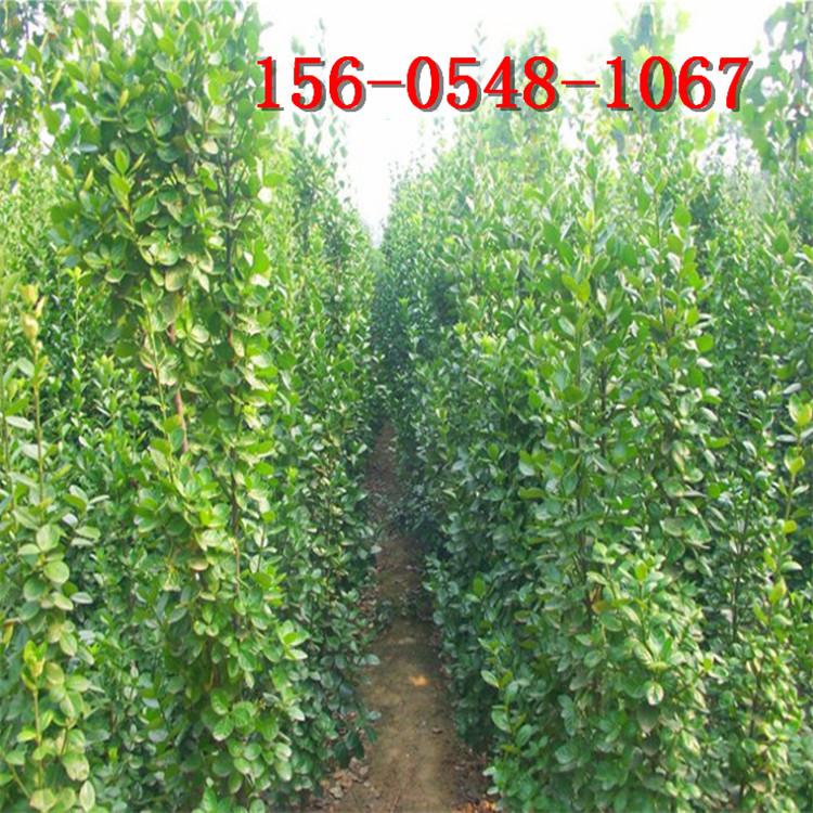 云杉大量供应直销青芊云杉、2米云杉价格 3米4米云杉价格