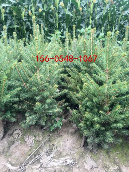 基地批发云杉  现货出售1米 1.5米云杉价格 2米云杉 3米云杉产品大图
