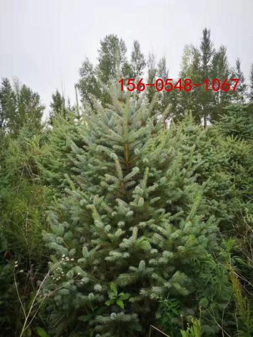 常年批发1米云杉、2米云杉树、3米4米云杉树 4.5米、5米云杉产品大图