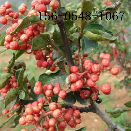 供应2公分3公分4公分5公分花椒苗价格