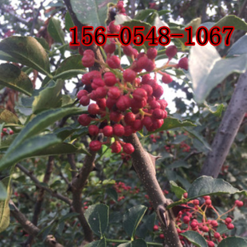 批发花椒树苗价格、九叶青花椒苗多少钱一棵