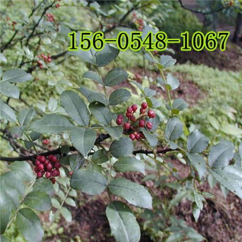 哪里有卖大红袍花椒树苗-优质花椒树苗报价多少