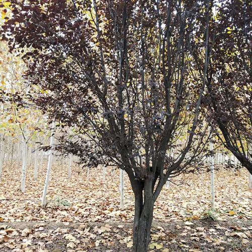 产地紫叶李树苗7公分8公分10公分紫叶李紫叶李